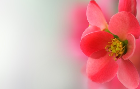 Spring header with with pink flower, shallow depth of field Stock Photo - 13041227