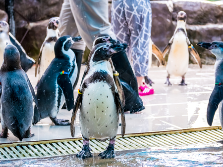 penquin with friends close up standing show in side view in zoo thailand. Stock Photo