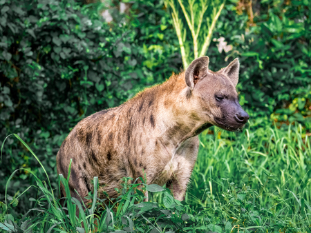 Spotted hyena (Crocuta crocuta), also known as the laughing hyena close up side view animal wildlife. Stock Photo