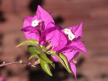 Bougainvillea fleurs