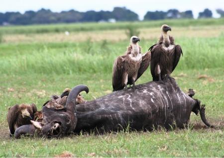 carcasse: Vautours africains assis sur une carcasse de gnou - Chobe Botswana Banque d'images