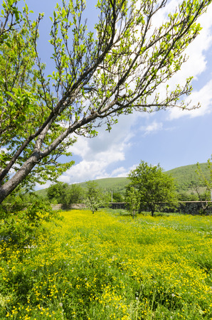 medow: allgaue meadow, Dandelions, flowers and grass medow bloom background