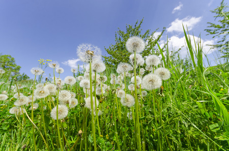 Natural  background. Dandelions in the green grass meadow and blue bright sky
