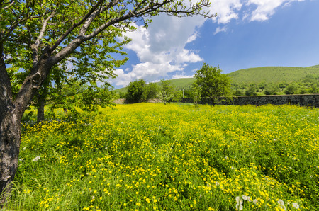 medow: allgaue meadow, Dandelions, flowers and grass medow nature bloom background