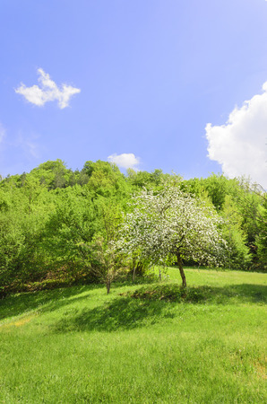 nice white flower tree blossom on the green meadow and bright blue sky photo