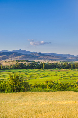 spaciousness: Nice vertical background of yellow wheat and green rice Fields, Macedonia