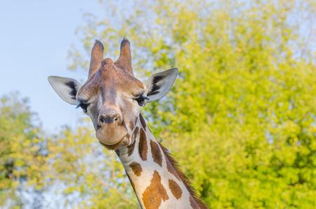 camelopardalis reticulata: Reticulated giraffe (Giraffa camelopardalis reticulata)