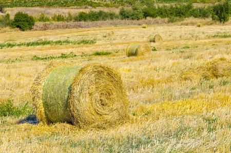 thresh: Round Straw bales at harvested field