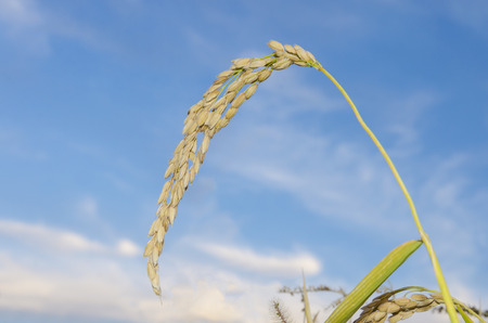 raw rice plant on the blur blue background photo