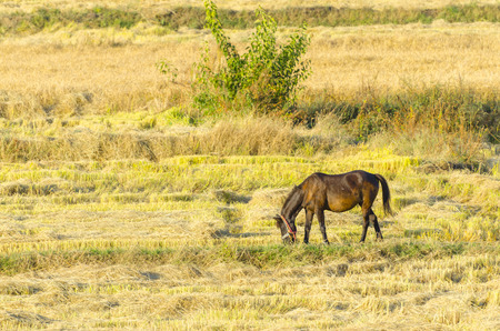 grassy plot: Broodmare horse with colt on a rice, wheat  harvest field