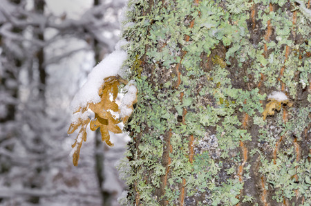 winter leaf: winter leaf with snow hanging on green bark tree