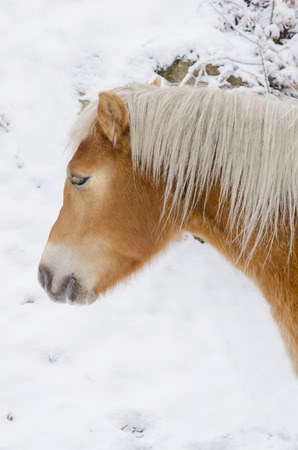beautiful white horse head closeup on snow photo