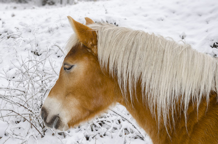 lovely white horse head closeup on snow photo