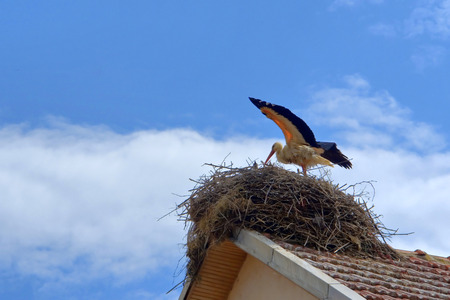 beginning of life for white stork on the nest, preparing for the first fly on the blue bright colorful sky photo