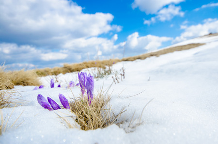 saffron crocus first spring flower closeup between melting snow  wide shoot photo