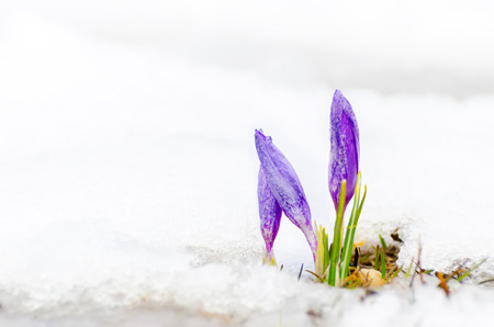 early spring snow: closeup of saffron crocus flower and melting snow