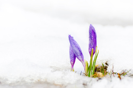 closeup of saffron crocus flower and melting snow