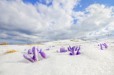 saffron crocus flower on melting snow, wide shoot