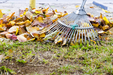 pile of leaves: Pile of fall leaves with fan rake on lawn