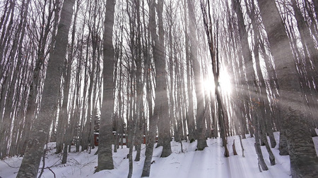 winter escape: Winter with sun rays shining through forest trees