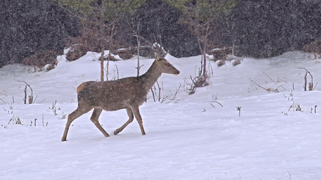 virginianus: Deer in Morning winter snow