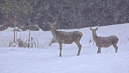 virginianus: Two whitetailed deers in an snow open meadow Stock Photo