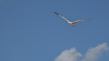 wingspread: seabird is flying on the sky