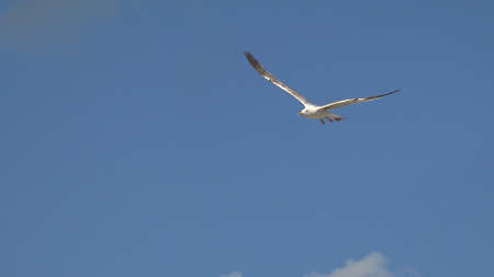 wingspread: the flight of white seagull bird on the blue sea