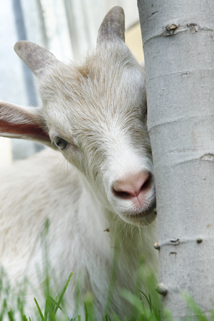 portrait of a white goatling hiding behind tree and looking in camera