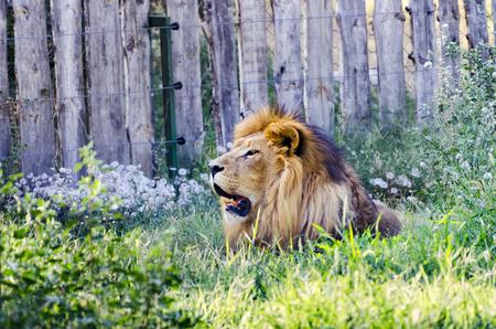 Wild lion taking rest in grass savan on summer heat