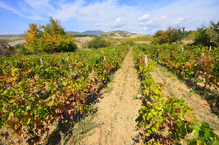 Green vineyard and blue sky in Israel Banco de Imagens