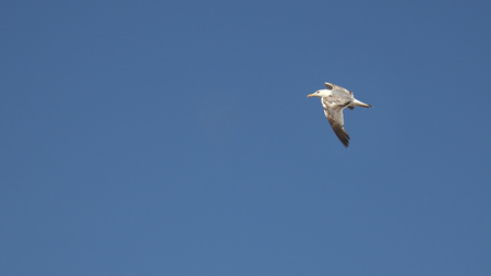 Seagull flying style Stock Photo