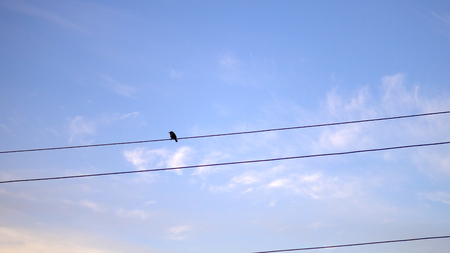Single Flycatcher (Muscicapa striata) bird on electrical wire against blue sky at sunrise