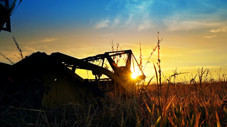 A farmer on a combine harvester (header) harvesting a crop of oats at sunset, with the header coming straight towards the camera