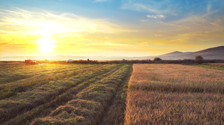 Ears of wheat, rice at sunset, dawn. Cinematic dolly shot and combine harvester collecting crops Фото со стока - 120419608