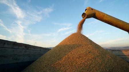 Combine Harvesting Corn and Unloading Grains into Tractor Trailer. Corn Falling from Combine Auger into Tractor Trailer. Harvest Time Фото со стока - 120428492
