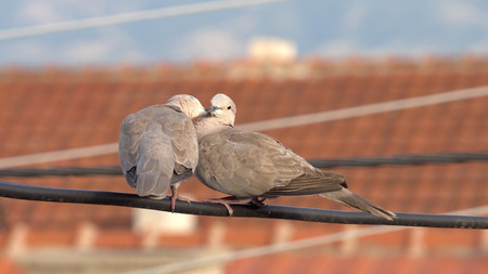 Couple of eurasian collared doves (Streptopelia decaocto) having romantic touches standing on electrical wire Фото со стока