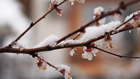 Spring snow with bud and flower blossom tree of Japanese apricot - Prunus mume