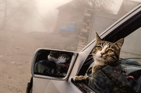 Head Cat out of a car window in winter foggy time. Azerbaijan travelling cat Archivio Fotografico