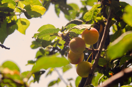 alycha: Green Yellow Plum in fruit orchard. Yellow berries ripen on the branches of a fruit tree under the sunlights