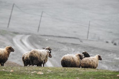 shepherd drives on the mountain route an attara of sheep, the desert mountain area, Gazakh Azerbaijan green field