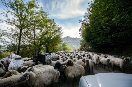 Tilted view of sheared sheep on rural road with a car trying to pass. One sheep is looking at the camera. Azerbaijan Masalli autumn time