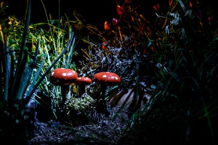 Three red mushrooms. Fantasy Glowing Mushrooms in mystery dark forest close-up. Beautiful macro shot of magic mushroom, fungus. Amanita muscaria, Fly Agaric in moss in forest. Selective focus