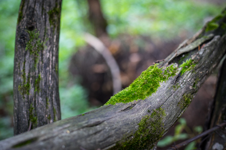 Cracked bark of the old tree overgrown with green moss in autumn forest. Selective focus