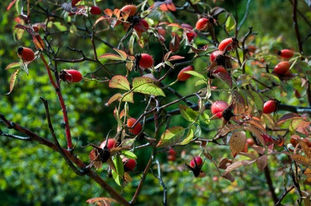 Close-up of dog-rose berries. Dog rose fruits (Rosa canina). Wild rosehips in nature. Autumn forest in Azerbaijan. Selective focus