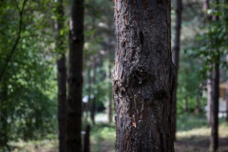 Bark of Pine Tree close up. Beautiful pine forest at summer time. Selective focus