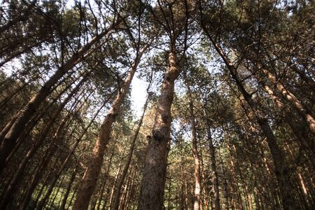 Forest landscape.Beautiful forest nature. Tall old pine trees. Summer sunny day. Azerbaijan 写真素材