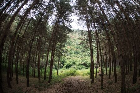 Forest landscape.Beautiful forest nature. Tall old pine trees. Summer sunny day. Azerbaijan Stock fotó