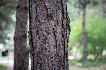 Rinde der Kiefer hautnah. Schöner Kiefernwald zur Sommerzeit. Selektiver Fokus
