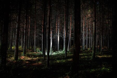 Beautiful night landscape shot in scary forest. Magical lights sparkling in mysterious pine forest at night. Long exposure shot